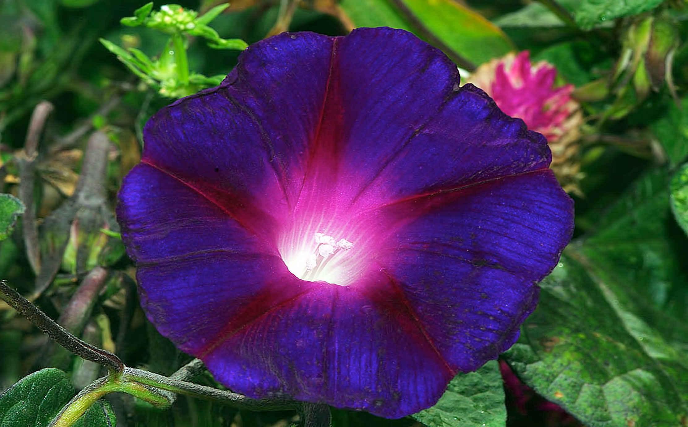 عکس گل بنفشه